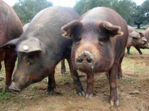 cerdo iberico para exportacion